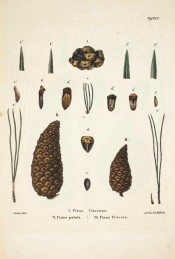 Leaves, female cones and seeds are figured.  Die Coniferen t.XV, 1840-41.