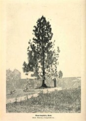 A photograph of a young tree growing at Campbelltown near Camden.  Agricultural Gazette of NSW.  March 2nd, p.180, 1908.