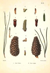 Leaves, female cones and seeds are figured.  Die Coniferen t.VII, 1840-41.