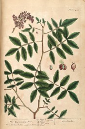 The plate depicts palmate leaves and crowded bunch of small purple fruits.  Blackwell pl.478, 1739.