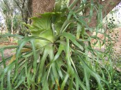 The photograph shows both the pale green next fronds and darker green, pendant  fertile fronds.  Camden Park Gardens.