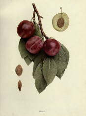 Figured is a shoot with ovate, toothed leave, 3 red skinned plums, a sectioned plum and stones. Plums of New York p.158, 1911.