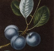Figured is a bunch of 3 blue-skinned, round plums and ovate leaves. Pomona Britannica pl.16, 1812.