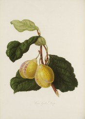 Figured is a yellow-skinned plum with red dots, and ovate leaves. Pomona Londinensis pl.14, 1818.