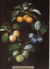 Figured are 4 shoots with clusters of yellow, green or blue plums. Pomona Britannicus ol.16, 1812.