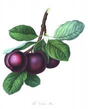 Figured is a cluster of purple plums with oval foliage. Pomona Londinensis pl.39, 1818.