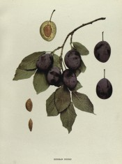 The figure shows a shoot with a cluster of purple plums and a sectioned plum. Plums of New York p.220, 1911.