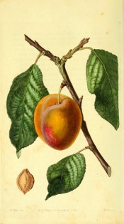 Figured is a shoot bearing leaves and a large plum with yellow skin flushed with red. Pomological Magazine t.16, 1828.