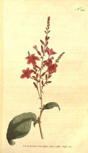 Shown are the elliptic leaves and terminal raceme of long-tubed red flowers.  Curtis's Botanical Magazine t.230, 1793.