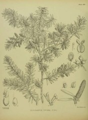 The figure is an uncoloured drawing of leaves, fruits and seeds.  Illustrations of the New Zealand Flora p.266, 1914.