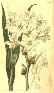 The image depicts lance-shaped leaves and single white flowers.  Curtis's Botanical Magazine t.1817, 1816.