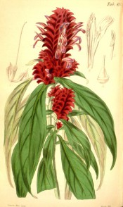 Figured are lance-shaped leaves and dens spikes of bright red flowers.  Curtis's Botanical Magazine BM t.4176, 1845.