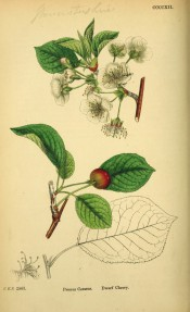Figured are ovate leaves, small, apple-blossom-like flowers and red cherry-like fruit.  English Botany pl.CCCCXII, 1863-86.