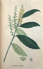 Figured are toothed leaves, upright raceme of small white flowers and unripe fruit.  Saint-Hilaire Tr. pl.49, 1825.