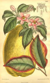 Figured are the leaves, pink star-like flowers and large, yellow, pear-shaped fruit.  Curtis's Botanical Magazine t.7988, 1904.