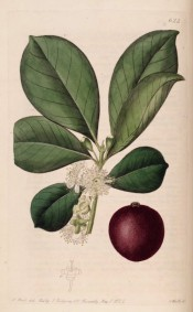 Figured are obovate leaves, white flowers and large purple fruit.  Botanical Register f.622, 1822.