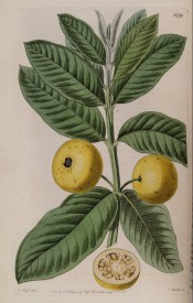 Shown are elliptic leaves and round yellow fruit, one cut open to show internal flesh and seeds. Botanical Register f.622, 1822.