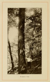 The photograph shows a long, upright trunk in situ in the forest with forester for scale.  American Forest Trees p.277, 1913.