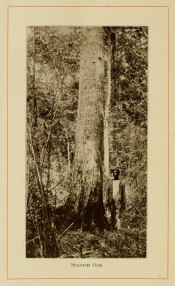 The photograph shows a long, upright trunk in situ in the forest with forester for scale.  American Forest Trees p.289, 1913.