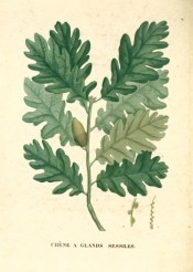 Figured are the oval, deeply lobed leaves and ripe acorns.  Saint-Hilaire Arb. pl.14, 1824.