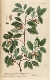 Figurd are ovate, wavy-edged leaves and ripe acorns.  Blackwell pl.193, 1737.