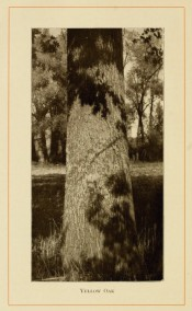 The photograph shows a thick, upright trunk in situ in open forest.  American Forest Trees p.271, 1913.