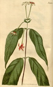 The image shows drooping lance-shaped leaves and long-tubed red and white flowers.  Curtis's Botanical Magazine t.2033, 1818.
