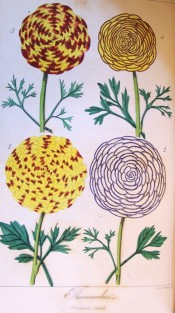 Depicted are four flowers in shades of red, yellow, purple and white, all strongly marked.  Floricultural Cabinet p.132, 1855.