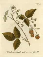 Figured is a fruiting stem with leaves, white flower and yellowish raspberry fruits. Pomona Austriaca t.63, 1792.