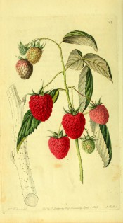 Figured is a prickly shoot with 3-pinnate, toothed leaves and red, segmented fruits. Pomological Magazine t.24, 1828.