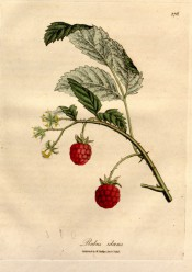 Figured is a prickly shoot with 3-pinnate, toothed leaves and red, segmented fruits. Medical Botany vol. 3, pl.176, 1832.
