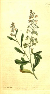 The image shows spikes of small, reddish-green flowers.  Curtis's Botanical Magazine t.29, 1787.