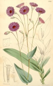 Figured are oblong leaves and single purple-pink everlasting flowers.  Curtis's Botanical Magazine t.5283, 1861.