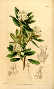 The figure shows obovate leaves and clusters of creamy white, tubular flowers.  Curtis's Botanical Magazine t.3947, 1842.