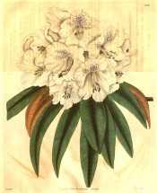 Figured are oblong leaves and a dense truss of tubular-bell-shaped white flowers.  Curtis's Botanical Magazine t.3290, 1834.