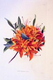 Figured is a single azalea with brilliant orange flowers.  Loddiges Botanical Cabinet no.1255, 1828.