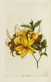 Figured is a single azalea with bright yellow flowers.  Loddiges Botanical Cabinet no.1324, 1828.