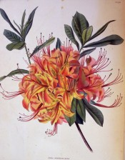 Illustrated is an azalea with bright orange flowers, suffused with red.  Loddiges Botanical Cabinet no.1394, 1829.