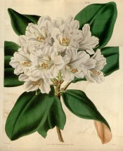 Figured are oblong leaves and a truss of tubular-bell-shaped very pale pink flowers.  Curtis's Botanical Magazine t.3759, 1839.