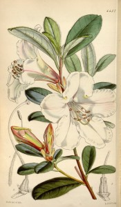 Figured are oblong leaves and paired tubular-bell-shaped white, pink-tinged flowers.  Curtis's Botanical Magazine t.4457, 1849.