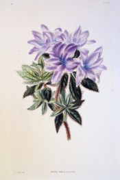 Figured is a single azalea with purple flowers, shading to mauve at the edges. Loddiges Botanical Cabinet no.1461, 1828.