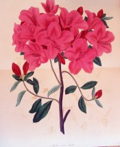 Figured is a single azalea with bright red, single flowers.  Paxton's Magazine of Botany p.145, 1835.