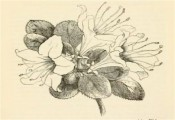 Figured is a pen and ink drawing of a single azalea with rounded leaves.  Journal of the Horticultural Society iv. 291, 1849.