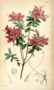 The image depicts a double azalea with magenta flowers.  Curtis's Botanical Magazine t.4728, 1853.
