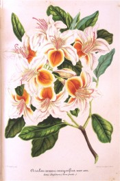 Shown are white flowers, upper petals with a brilliant orange centre, streaked crimson.  Illustration Horticole pl.209, 1859.