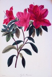 Figured is an Indica azalea with large, bright red single flowers.  Paxton's Magazine of Botany p.123, 1836.