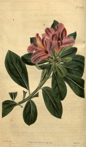 The image depicts an azalea with single, dull red flowers.  Curtis's Botanical Magazine t.2667, 1826.