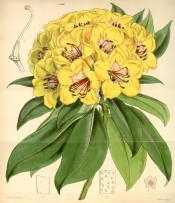 Figured are oblong-lanceolate leaves and cluster of bell-shaped yellow flowers.  Curtis's Botanical Magazine t.4336, 1847.