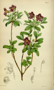 Figured are small oblong leaves and clusters of bell-shaped purple flowers.  Curtis's Botanical Magazine t.4336, 1847.