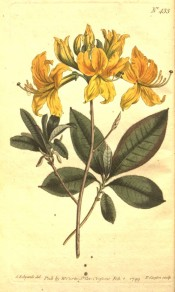 Illustrated is an azalea with leaves and bright yellow flowers.  Curtis's Botanical Magazine t.433, 1799.